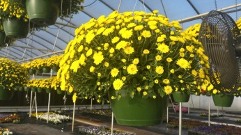 Yellow Belgian Mum Baskets