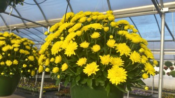 Yellow Mum Baskets