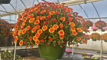 Bronze Bi-Color Mum Baskets