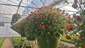 Orange Mum Baskets
