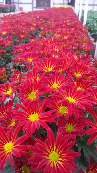 "6.5"" Point Pelee Florist Mum"