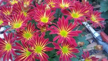 """6.5"""" Fire Island Florist Mum"""