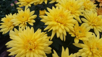 "6.5"" Yellow Cushion Florist Mum"