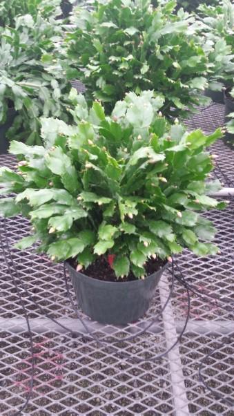 "10"" Christmas Cactus"