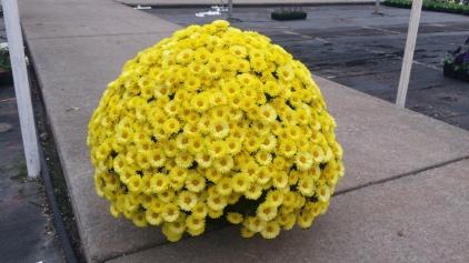 Fully Open Belgian Yellow Mum HB