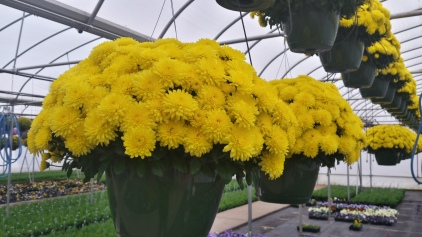 Fully Open Yellow Mum HB