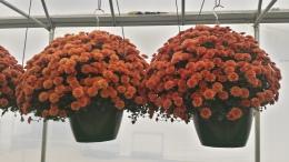 Orange Mum HB