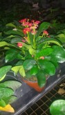 "5"" Crown of Thorns"
