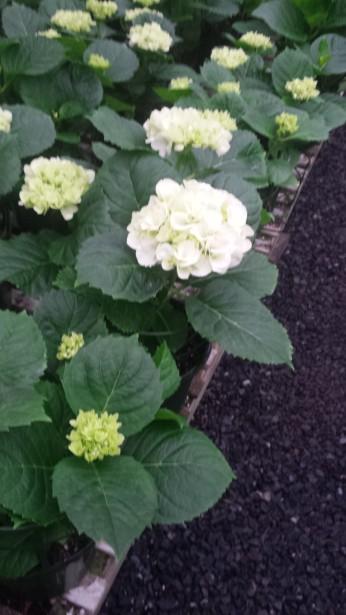 "7.5"" White Hydrangea"