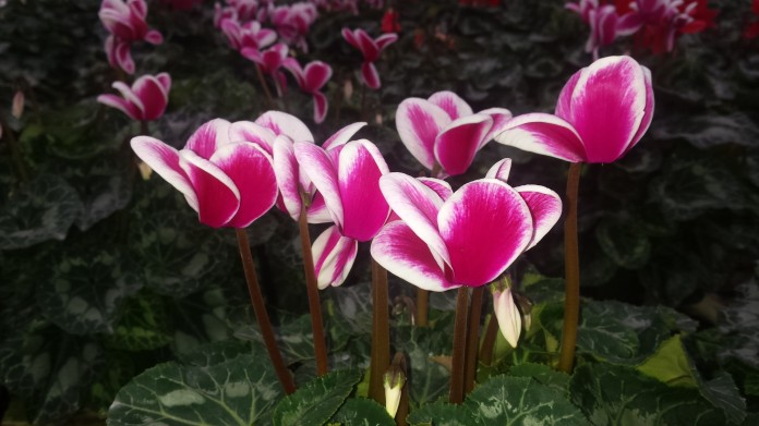 "6.5"" Bi-color Cyclamen"