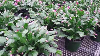 "7.5"" Red Christmas Cactus"