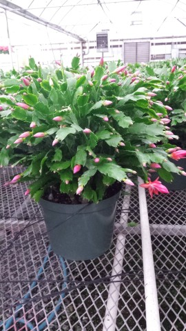 "10"" Red Christmas Cactus"