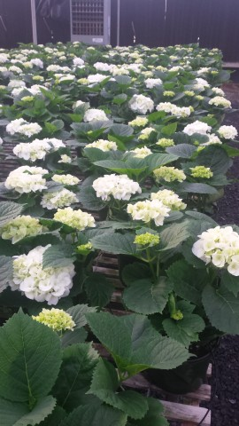 2-Bloom Hydrangeas