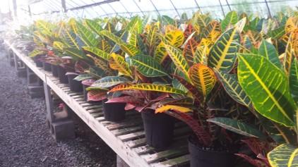 "6"" Crotons"