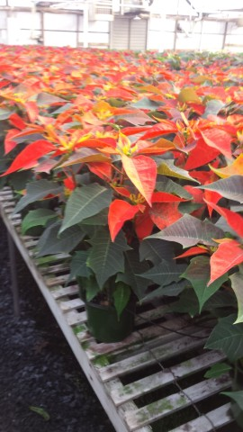 "6"" Orange Poinsettia"
