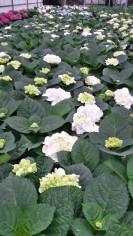 "8"" White Hydrangea"