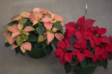 "10"" Hanging Basket Cinnamon & Red"