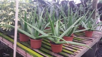 """6"""" Aloe"""