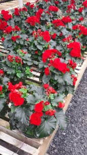 "6.5"" Red Begonias"