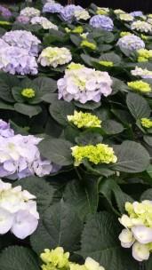"7.5"" Blue Hydrangea"