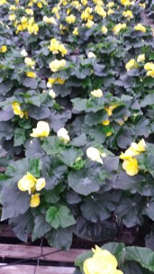 "6.5"" Yellow Begonia"