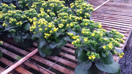 "6.5"" Yellow Kalanchoe"