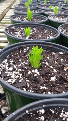 Easter Lilies are starting to show!