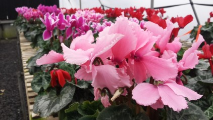 We still have assorted cyclamen.