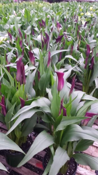"""6.5"""" Purple Callas"""