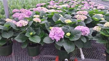 "7.5"" Purple Hydrangeas"