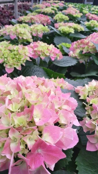 "7.5"" Pink Hydrangeas"