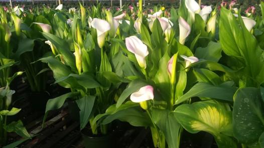 """6.5"""" Pink/White Calla"""