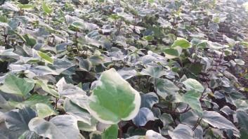 """6"""" Algerian Ivy - Varigated"""