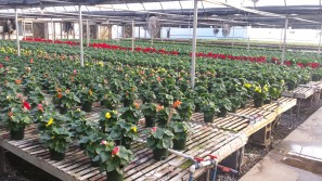 We should have begonias availabile next week.