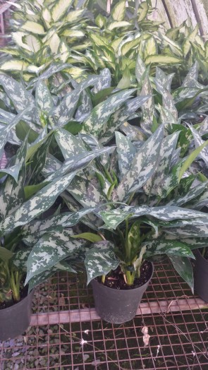 "6"" Dark Green Chinese Evergreen"