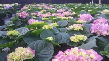 "7.5"" Purple Hydrangea"
