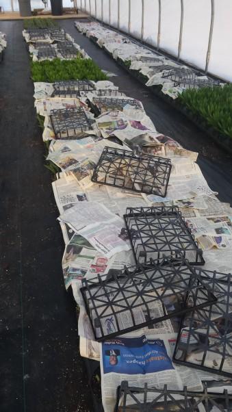 The Hyacinths under their newspaper blankets.