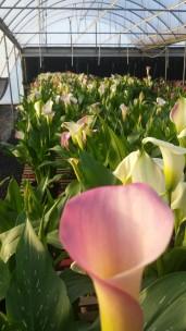 "6.5"" Pink/White Callas"
