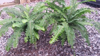 Gallon Kimberly Queen Fern