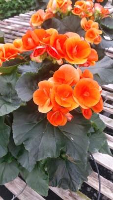 """6.5"""" Orange Begonia"""