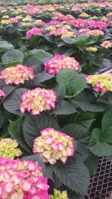 "7.5"" Pink Hydrangea"