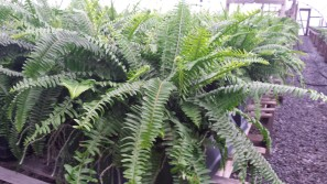 Gal. Western Queen Fern (Kimberly)