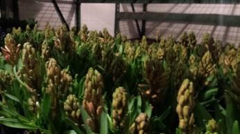"""6.5"""" Hyacinth"""