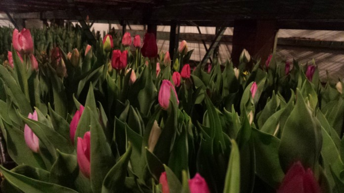 """6.5"""" Tulip"""