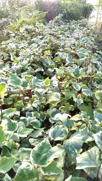 """6"""" Varigated Algerian Ivy"""