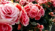 """6.5"""" Borias Antique Pink Begonia"""