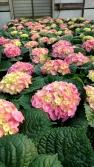 "8"" Pink Hydrangea"