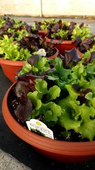 "14"" Lettuce Bowls"