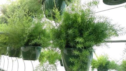 "10"" HB Asparagus Ferns"