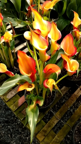 "6.5"" Orange/Yellow Callas"